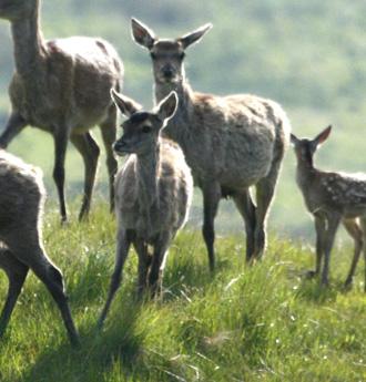 hind-calf.jpg